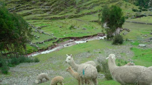 high angle panning shot of llamas standing on cliff, herd of domestic animals on mountain - cusco, peru - växtätare bildbanksvideor och videomaterial från bakom kulisserna