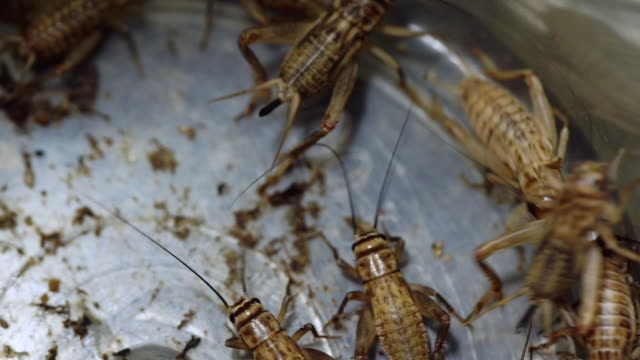 high angle perspective of grouped crickets in container - animal abdomen stock videos and b-roll footage