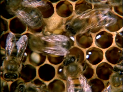 vidéos et rushes de cu high angle, pollen laden honey bee (apis mellifera) moving amongst others, england - oxford angleterre