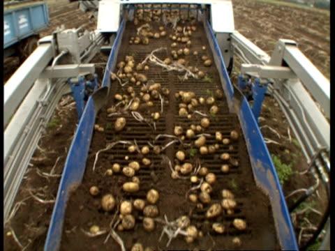 MS High angle, potatoes on harvester conveyor belt, shaking off dirt