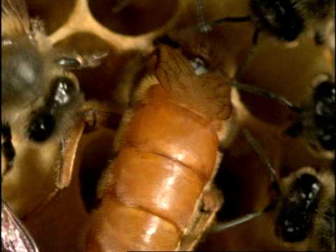 BCU High angle, Queen Honey Bee (Apis mellifera) laying egg in cell of hive, surrounded by others, England