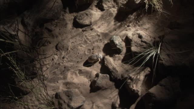vídeos y material grabado en eventos de stock de high angle roborovski's hamster (phodopus roborowski) runs over desert. - hamster