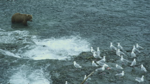 vídeos de stock, filmes e b-roll de high angle salmon swimming upstream, seagulls on side of river, bear arrives and catches fish, mcneil river game range, alaska, 2011 - onívoro