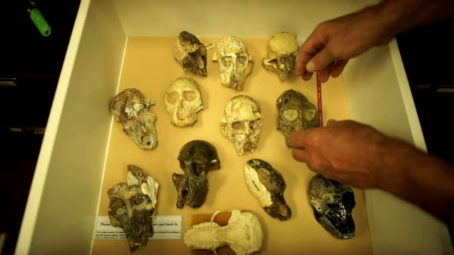 high angle skulls in a drawer/ muldersdrift/ south africa - drawer stock videos & royalty-free footage