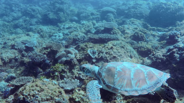 high angle slow motion shot of turtle and fish swimming over corals in sea, animals in deep ocean - brisbane, australia - seabed stock videos & royalty-free footage