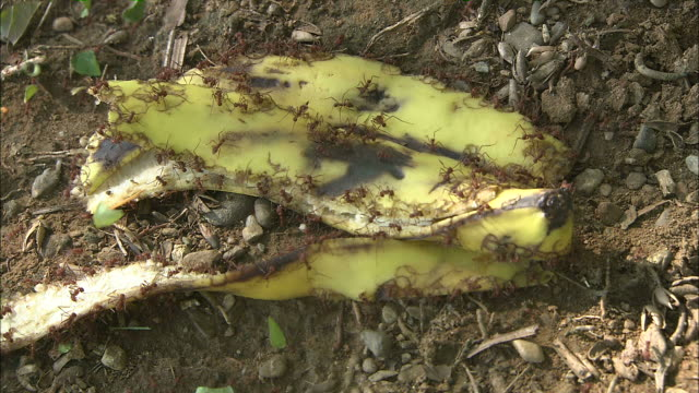 high angle static - leaf cutter ants swarm over a banana peel / el romanso, costa rica - bad condition stock videos and b-roll footage