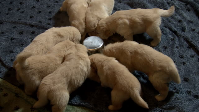 High Angle static - Puppies eat from a large bowl.