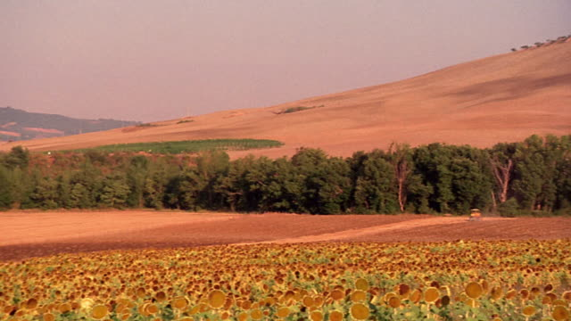 high angle PAN sunflower field with golden hilly farmland in background separated by line of trees / Tuscany, Italy