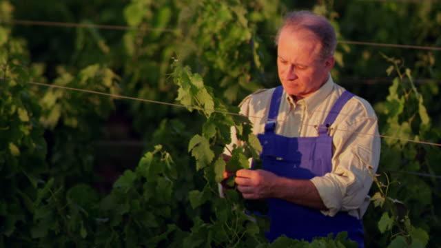 high angle tilt up tilt down PAN rack focus farmer checking grape vines in vineyard / St. Emilion, France