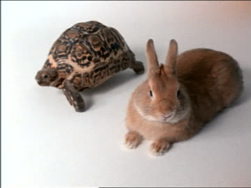 high angle tortoise passing rabbit resting in studio - landschildkröte stock-videos und b-roll-filmmaterial