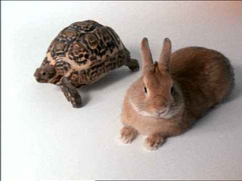 high angle tortoise passing rabbit resting in studio - rabbit animal stock videos and b-roll footage
