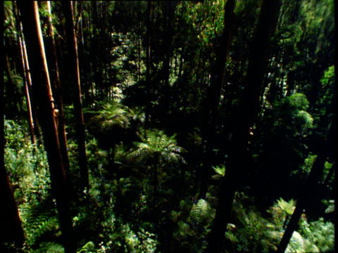 vídeos de stock e filmes b-roll de high angle track left through australian eucalypt forest and tree ferns - árvore tropical