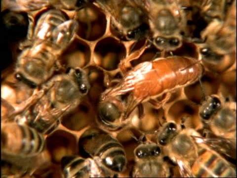 vidéos et rushes de cu high angle, tracking queen honey bee (apis mellifera) moving through colony, england - oxford angleterre