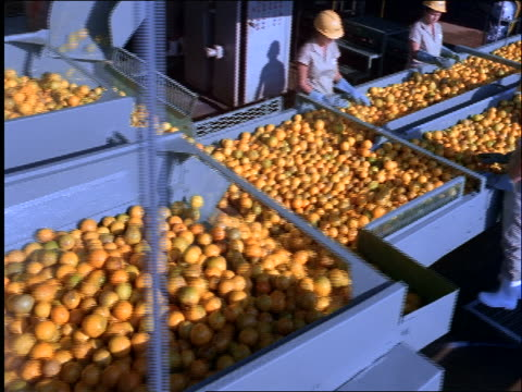 high angle tracking shot oranges moving on conveyor belt past workers / Brazil