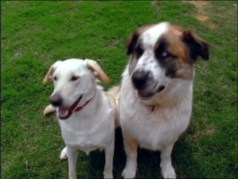 vídeos de stock e filmes b-roll de high angle two dogs sitting together outdoors looking right + left in unison - 1997