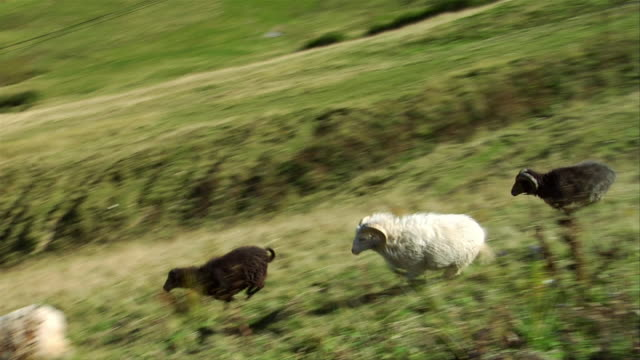 vidéos et rushes de high angle view. flock of sheep running down bavarian hill. - mouton