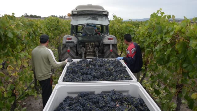 high angle view of a worker tipping buckets of harvested shiraz grapes into a collection tub on a moving tractor at the helen joey estate vineyard in... - vine stock videos & royalty-free footage