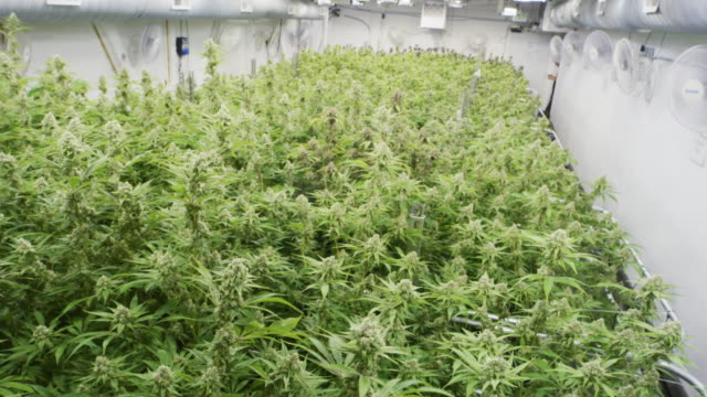 high angle view of cannabis growth facility - bud stock videos & royalty-free footage