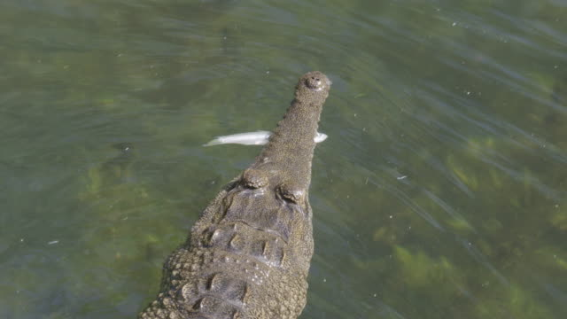 high angle view of crocodile swimming at water's surface with fish in mouth - crocodile stock videos & royalty-free footage