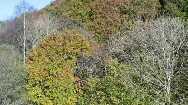 high angle view of deciduous trees in scottish woodland displaying autumn colour - treetop stock videos & royalty-free footage