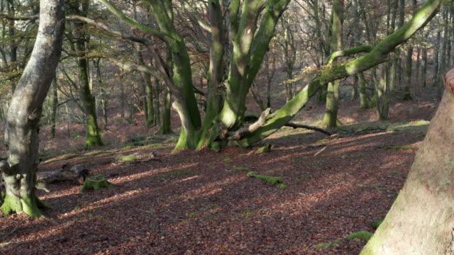 vídeos de stock, filmes e b-roll de vista do ângulo elevado da floresta decíduca com a terra coberta nas porcas de faia e nas folhas wilted - faia árvore de folha caduca