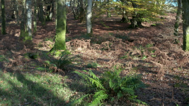 high angle view of deciduous woodland with the ground covered in wilted bracken and leaves - bracken stock videos and b-roll footage
