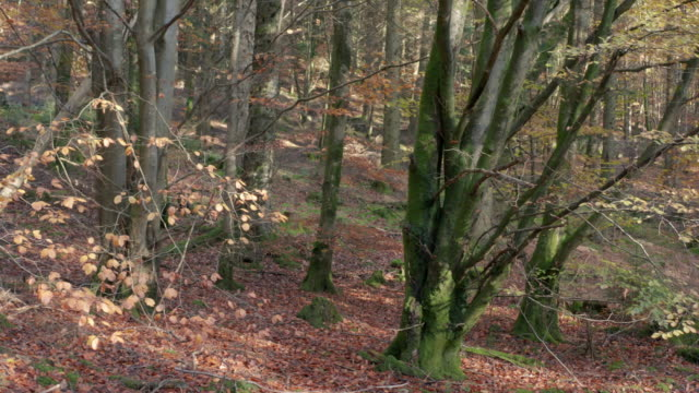 high angle view of deciduous woodland with the ground covered in beech nuts and wilted leaves - johnfscott stock videos & royalty-free footage