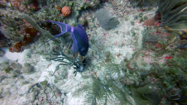 high angle view of fish eating dead lionfish over ocean floor, animal behavior underwater - great blue hole, belize - lionfish stock videos & royalty-free footage