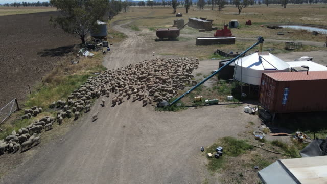 high angle view of flock of sheep at a farm ahead of shearing near gunnedah in new south wales, australia on tuesday, october 13, 2020. - sheep shearing stock videos & royalty-free footage