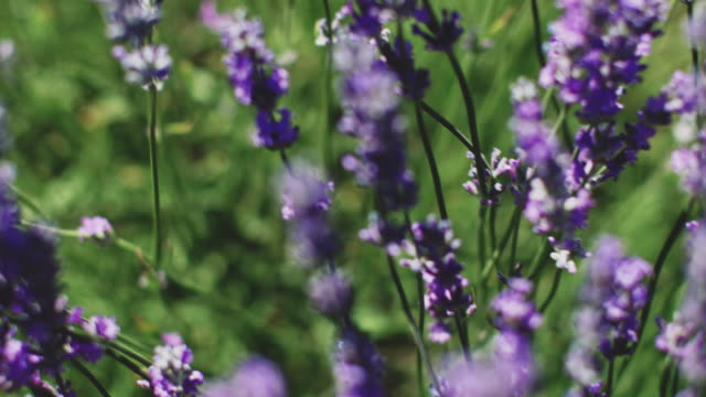 high angle view of fresh lavender flowers on field - lavender stock videos & royalty-free footage