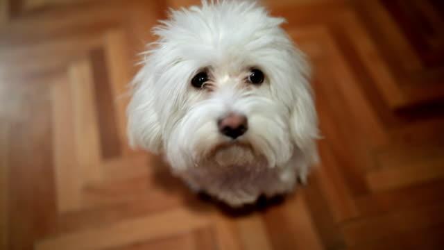 high angle view of maltese dog - maltese dog stock videos and b-roll footage