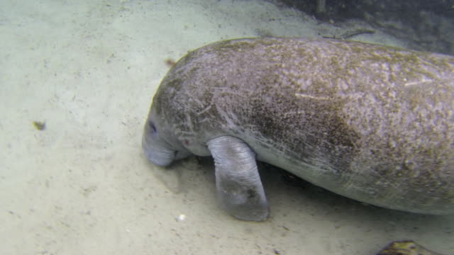 high angle view of manatee rubbing face over ocean floor underwater - everglades, florida - aquatic mammal stock videos & royalty-free footage