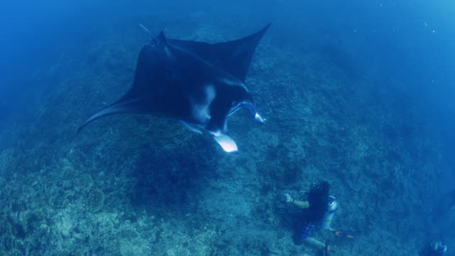 vídeos de stock, filmes e b-roll de high angle view of manta ray swimming near diver in ocean / bora bora, french polynesia - polinésia francesa