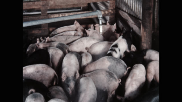 high angle view of pigs standing on farm - large group of animals bildbanksvideor och videomaterial från bakom kulisserna