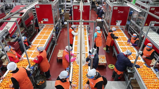 high angle view of production line with stacks of clementines in alquerias. history about clementine oranges with the citric company bagu in... - fruit stock videos & royalty-free footage