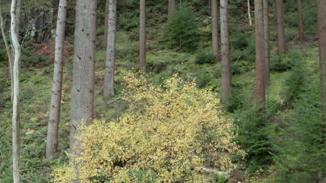 high angle view of  scottish pine woodland with plants starting to displaying autumn colour - pine woodland stock videos & royalty-free footage