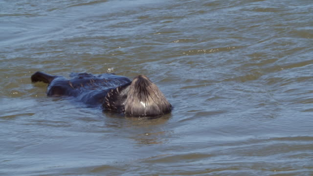 high angle view of sea otter floating on water and diving into sea during sunny day - moss landing, california - tall high stock videos and b-roll footage