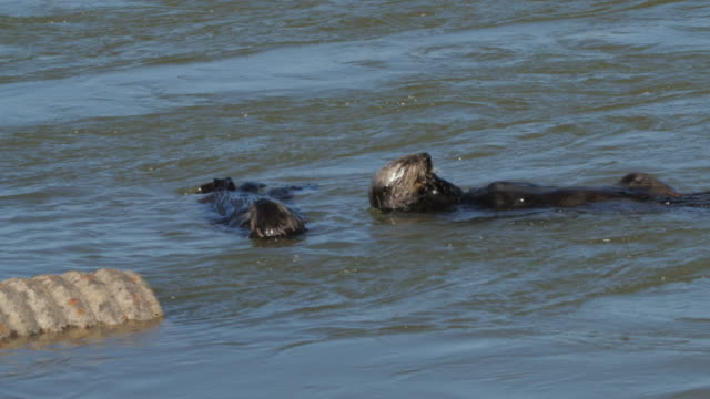 high angle view of sea otters rolling by concrete pipe on water in ocean during sunny day - moss landing, california - otter stock-videos und b-roll-filmmaterial
