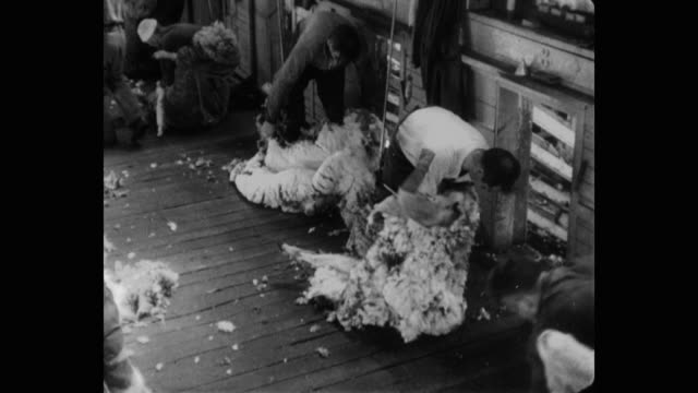 vidéos et rushes de high angle view of shearers removing sheep's wool - mouton