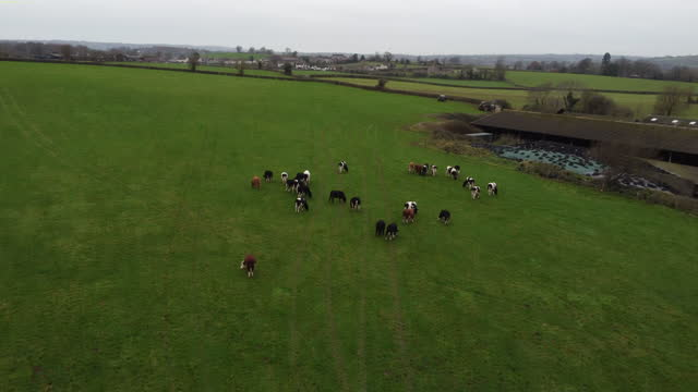 en hög vinkel bild av några unga mjölkkor i ett fält - beta djurbeteende bildbanksvideor och videomaterial från bakom kulisserna