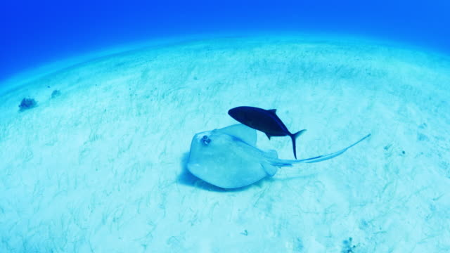high angle view of stingray and fish swimming on ocean floor / cozumel, quintana roo, mexico - quintana roo stock videos and b-roll footage