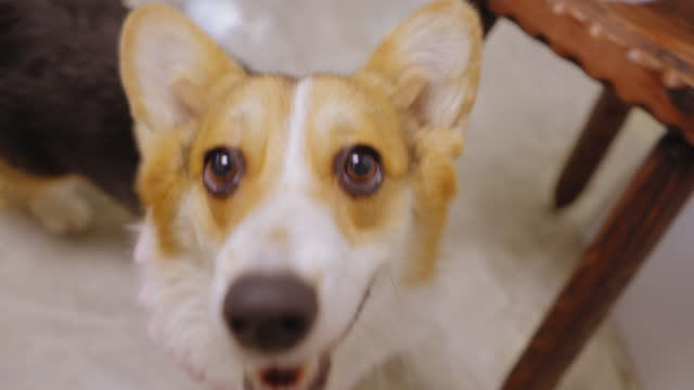 high angle view of young corgi dog looking at camera with smiling, curiosity, walking by following a camera - following stock videos & royalty-free footage