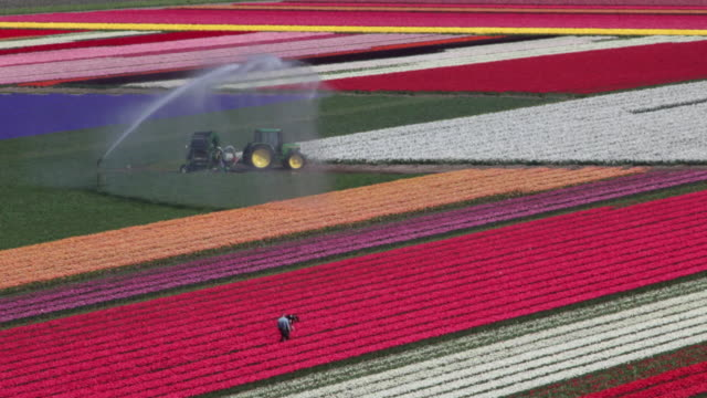 High angle view on tulip fields