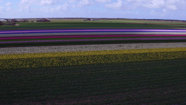 High angle view on tulips in flower field in the spring