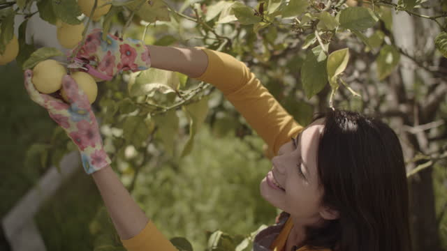 cu high angle view young woman picking lemons from a lemon tree - gardening glove stock videos & royalty-free footage