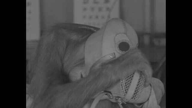 high angle vs norsuto the orangutan sits on table and plays with eye lettering chart; w. stuart cramer, assistant to the director of the philadelphia... - gas mask stock videos & royalty-free footage