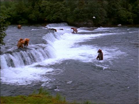 vídeos y material grabado en eventos de stock de high angle wide shot pan of brown bear running into river / others fishing in waterfall / alaska - grupo mediano de animales