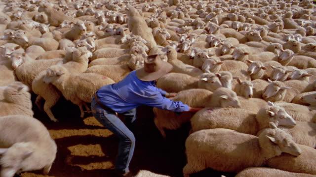High angle wide shot cowboy grabbing and lifting a sheep