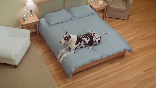 high angle wide shot great dane lying on bed/ california - pure bred dog stock videos and b-roll footage
