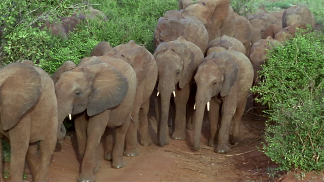 high angle wide shot herd of young elephants walking on narrow dirt path / tsavo east national park / kenya - herding stock videos and b-roll footage